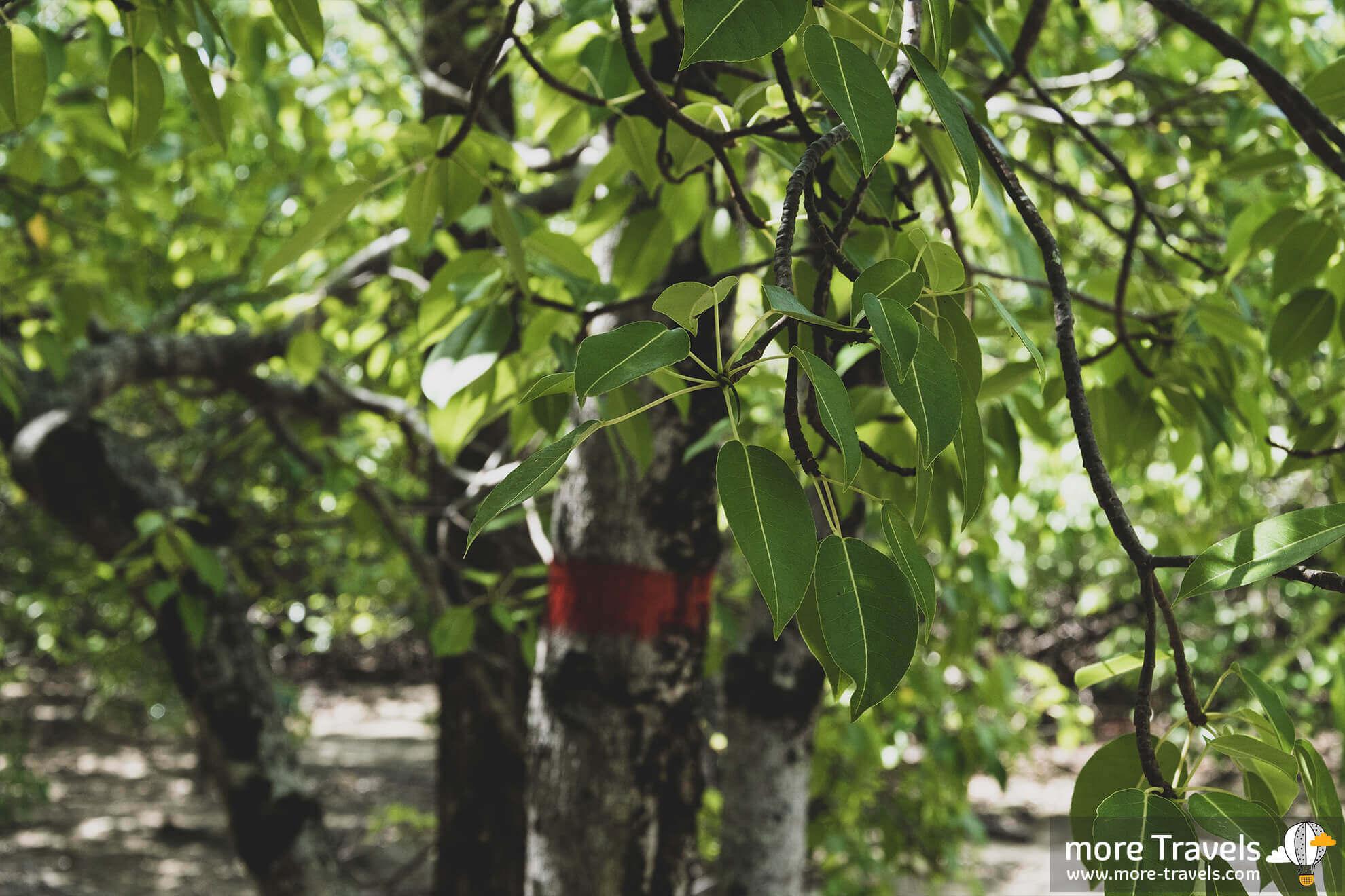 Martynika i trujące drzewo Mancinella