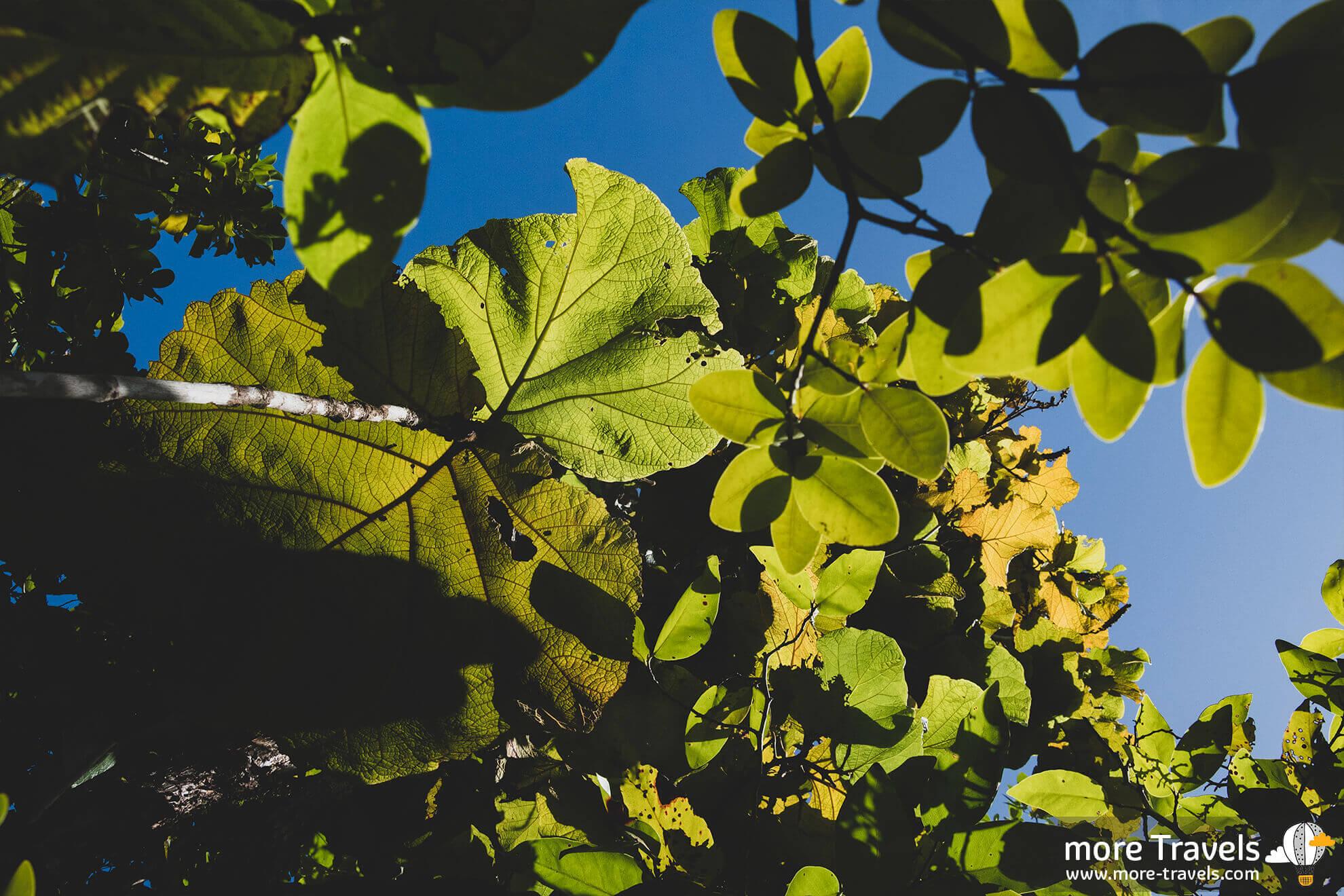 Trujące drzewo Martyniki -Mancinella
