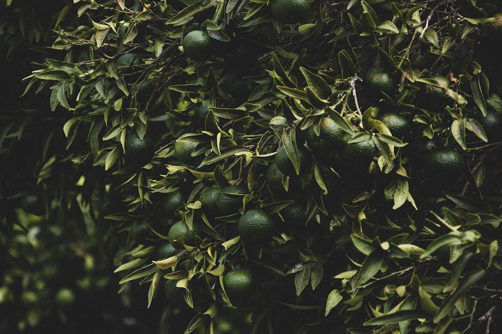 Limonki na drzewie