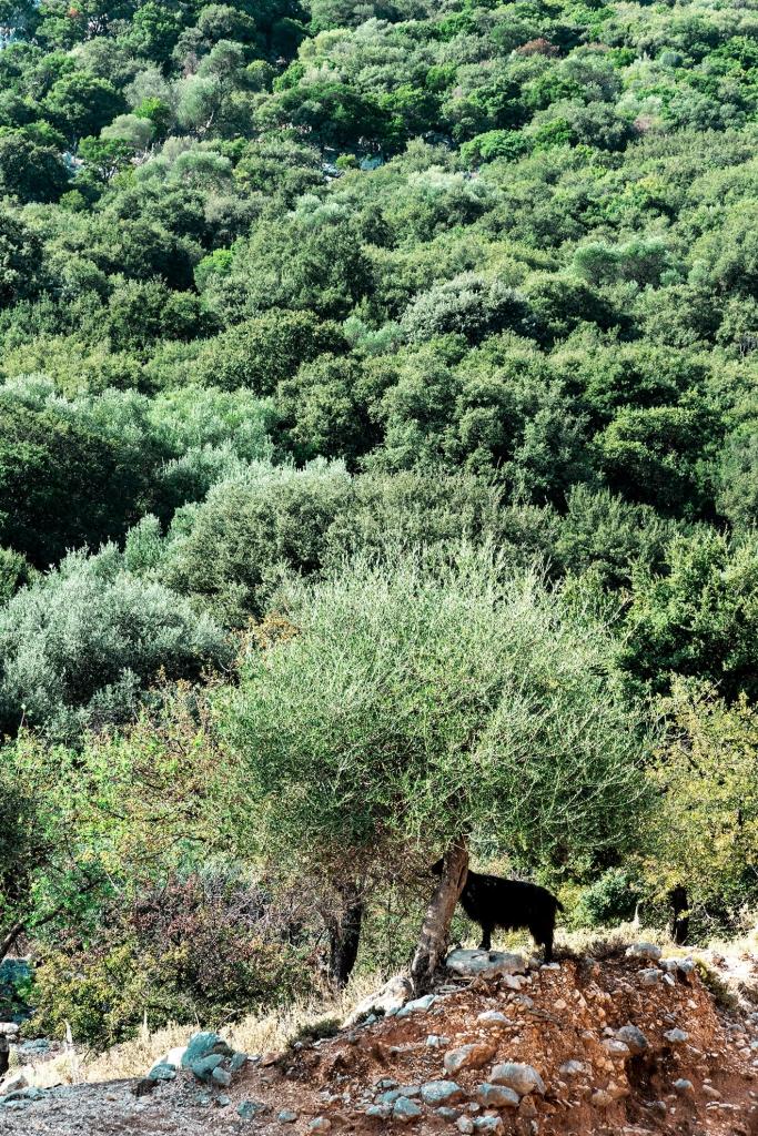 Koza na Kefalonia