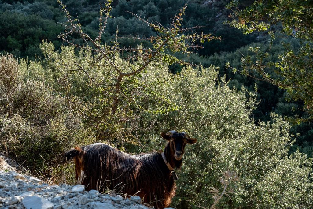 Koza w Grecji
