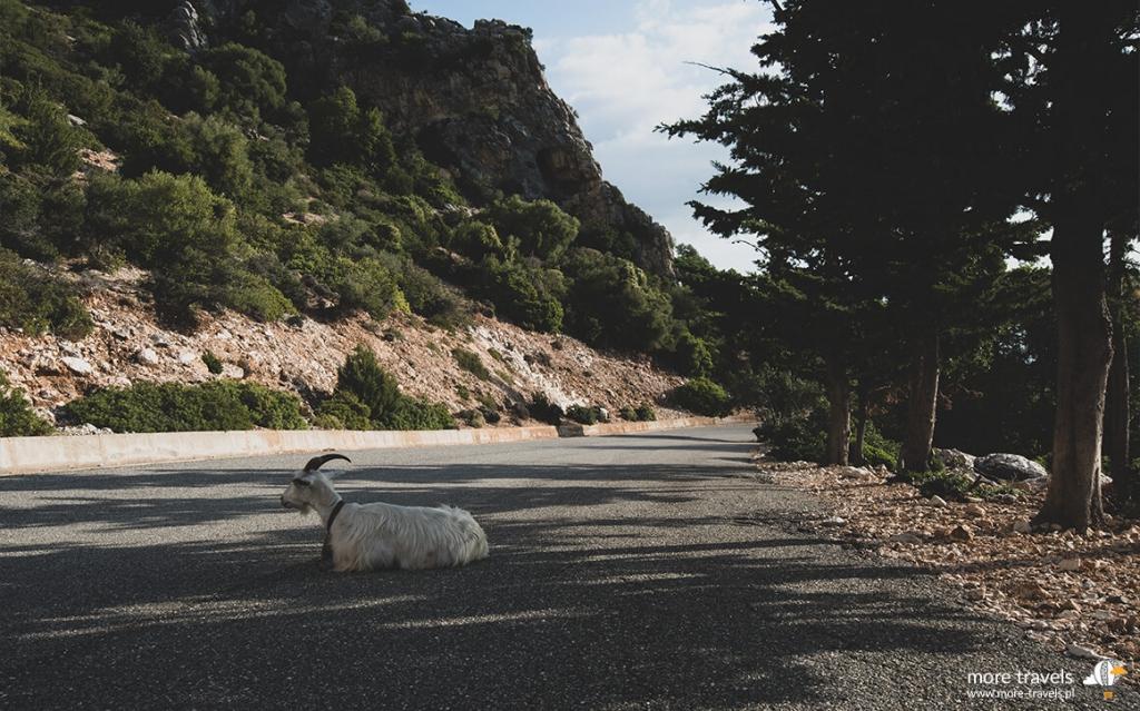 Koza na drodze Pedra Longa
