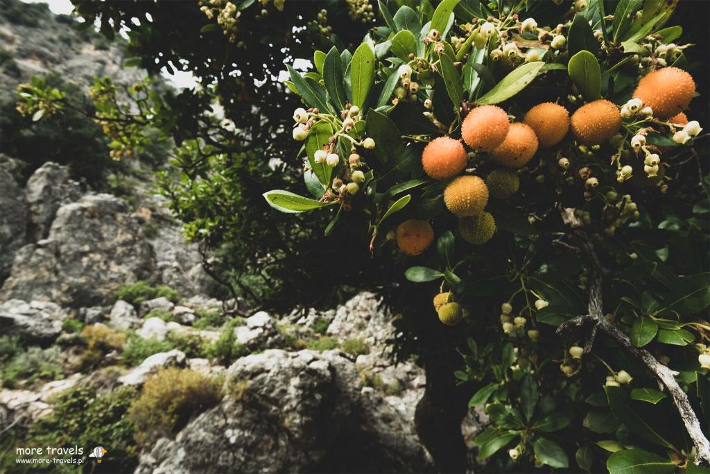 Chruścina jagodna